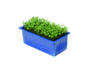 Garden Cress – crescione inglese