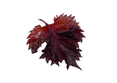 Shiso Leaves Purple