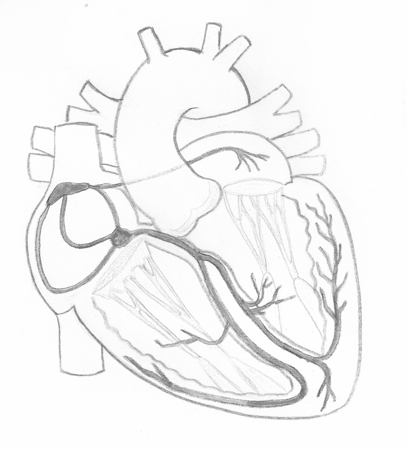 Cardiac Conduction System In Greyscale