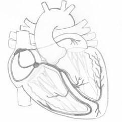 Anterior Heart Diagram Unlabeled Honeywell Th3110d1008 Wiring Art Page 4 Ecg Guru Instructor Resources