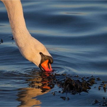 Mutes swan head, bird photography, swan feeding
