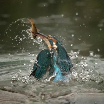 Kingfisher, Kingfisher with catch, Kingfisher leaving water, bird photography, female kingfisher, kingfisher emerging from water, kingfisher emerging from water with catch