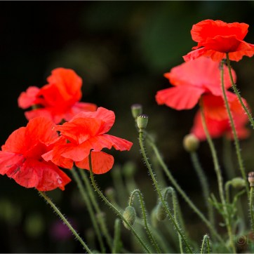 Poppies, Red Flower, Red flowers, product photography, still life photography, red petals, Flower photography