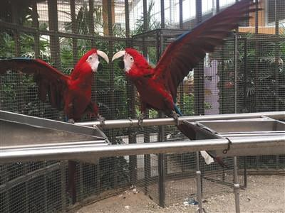 Scarlet macaws in an exposition park. (Photo/Beijing News)