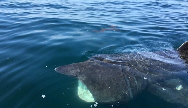 Le requin pèlerin, un géant mystérieux et menacé! L'Apecs agit en faveur de la conservation de cette espèce