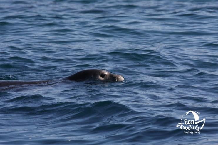 Μεσογειακή φώκια Monachus monachus
