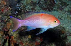 Pseudanthias charlenae