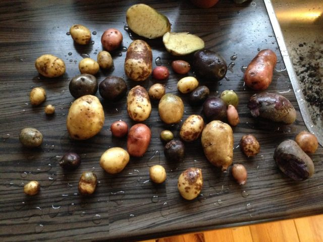 aardappeloogst
