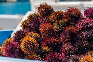 Charte de qualité marine en baie de Cannes - La pêche aux oursins est interdite du 16 avril au 15 octobre, la taille minimale de capture est de 5 cm piquants exclus et la quantité pêchée maximale autorisée est de 4 douzaines d'oursins maximum par pêcheur et par jour.