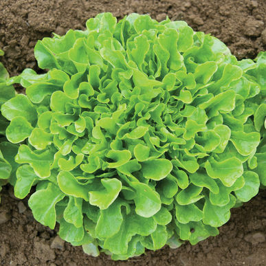 one organic lettuce green oak frowing in soil