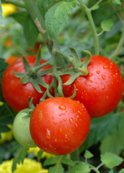 Organic Tomatoes - 2kg or more 1