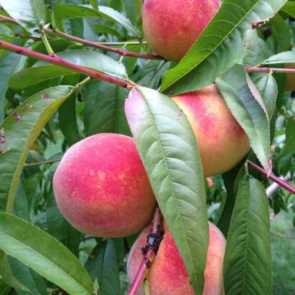Organic Peaches - Spring White 1