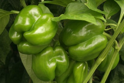 Organic Capsicum - Green - Small - 2 or more 1