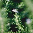 Cultivo y propiedades medicinales del romero