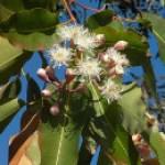 Propiedades y usos del aceite esencial de eucalipto