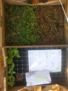 We planted the roof with sedums, widlflower plugs and sowed a selection of wildflower seeds