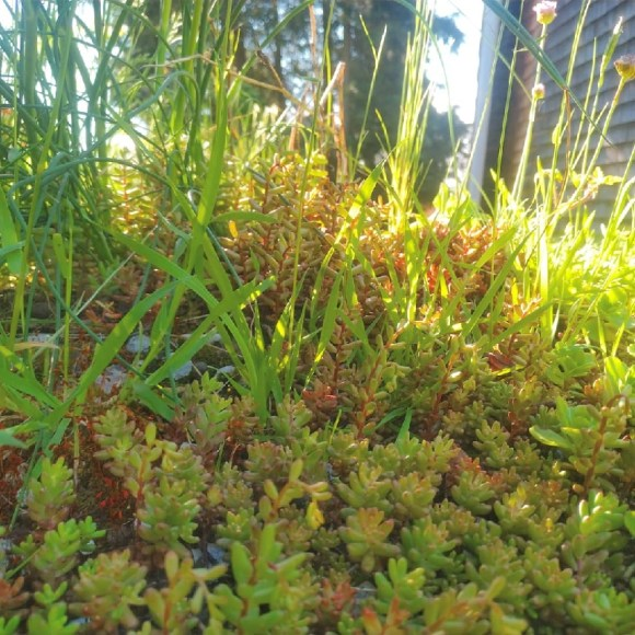 Close up of sedum and grasses on a green roof