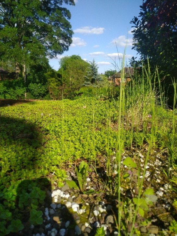 A green roof with sedum and wildflower and blue sky in the background