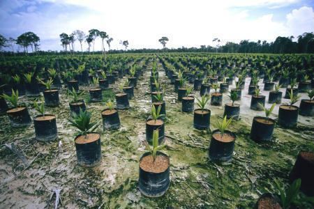Floresta em fase de conversão para plantio de palma (dendezeiro) na Indonésia