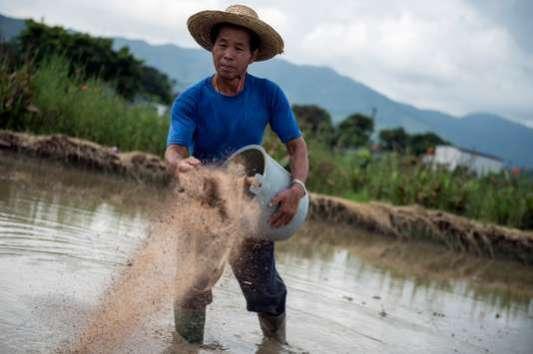 Un agriculteur utilise un engrais organique sur une rizière dans les Nouveaux Territoires de Hongkong en 2014.