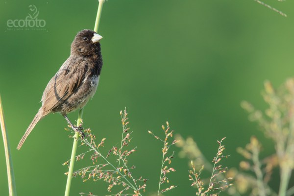 Papa-capim-de-costas-cinzas (Sporophila ardesiaca) - DSC_5585