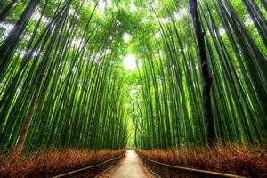 Tree Tunnel Bamboo