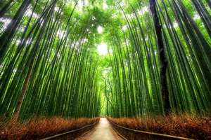 Tree Tunnel Bamboo