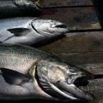 poaching wild salmon