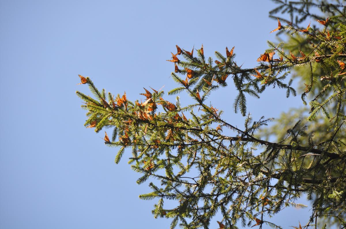 New Range Estimates For Migrating Monarch Butterflies In