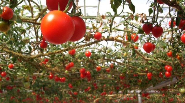 Hanging tomato garden