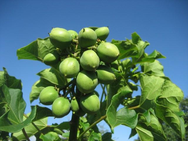 Biodiesel – Jatropha seeds : source - Biodiesel – Jatropha seeds