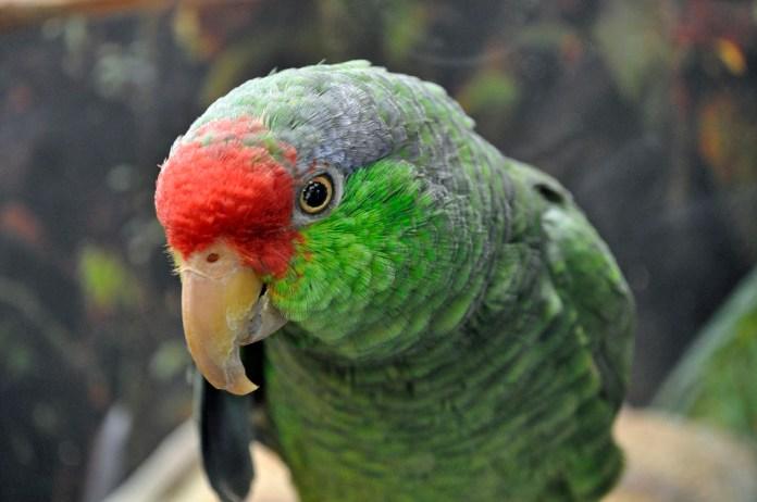 9 Parrots The Mimicry of No Voice