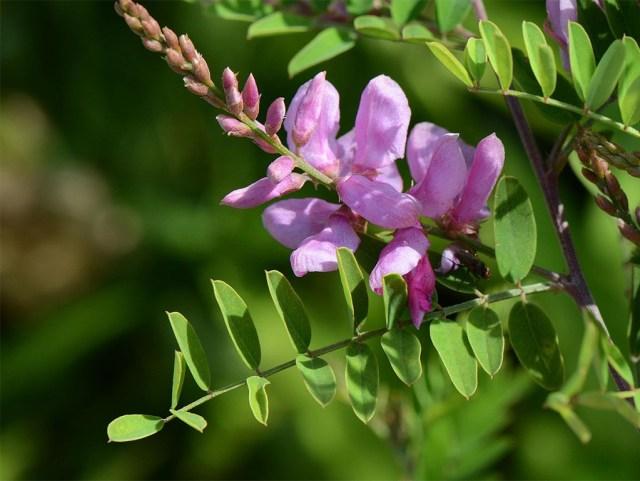Indigofera-tinctoria-used-for-making-natural-indigo-color
