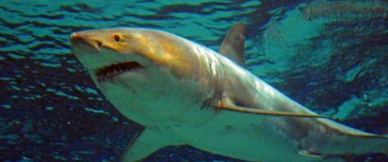 Great White Shark Dies After Days In Japan Aquarium
