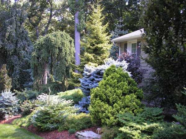 conifers foundation planting