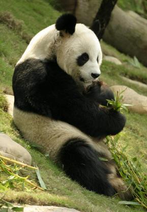 El ioputa der Panda