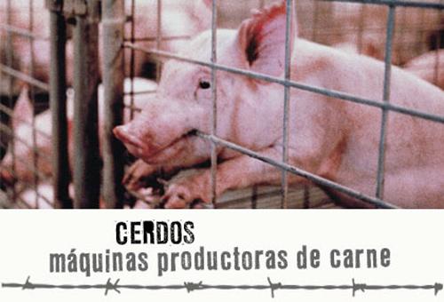 maltratos a cerdos