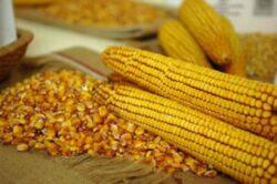 Comisia pentru Mediu a PE a votat impotriva cultivarii porumbului modificat genetic TC1507