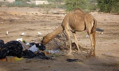 camel-plastic-wastes