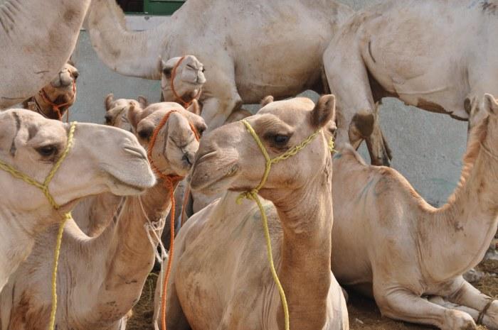 animal waste in MENA