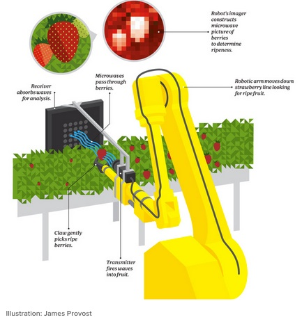 Productivity from robotic strawberry pickers