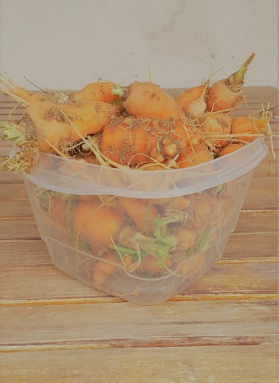 Side view of carrots in container