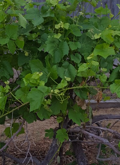 Close up of grapevine