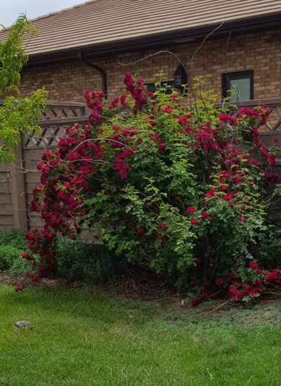 Bush loaded with red blooms