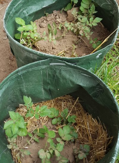 Potatoes in grow bag