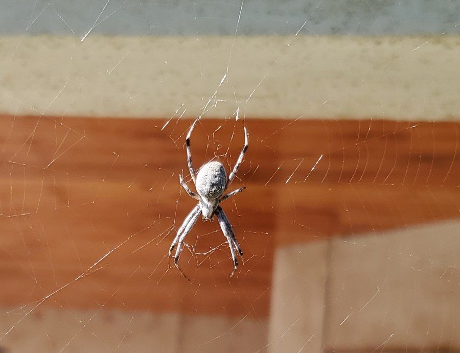 Close up of resident spider