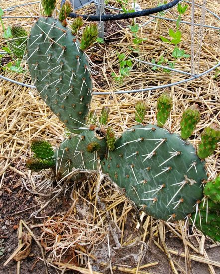 Cactus putting out new spines.