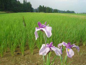 田んぼのはじっこでは、アヤメがきれいな花を咲かせています。