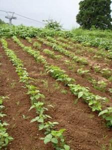 前回植えた大豆の苗が、いまはこんなに大きくなりました。