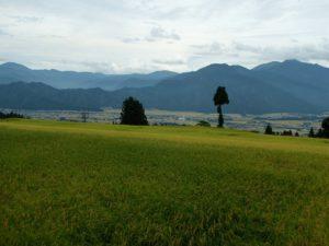 今年はオーナー田んぼは大成功の気配です。里の田んぼに倒伏が広がっているのと違って、栃窪の田んぼは順調です。
